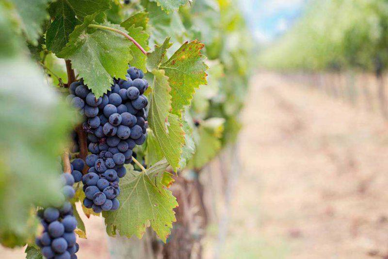 Vin Bio Ce Prestigieux Chateau Ne Regrette Pas Sa Conversion 1291917